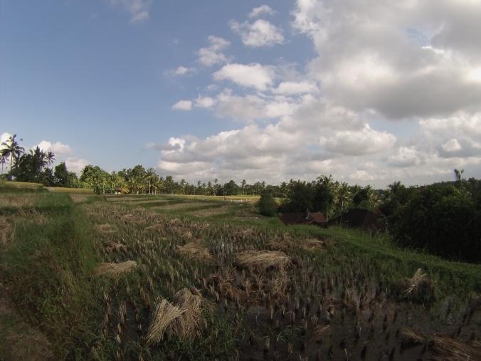 Campos de arroz a las afueras de Ubud