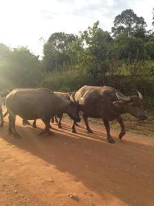 bulls-2