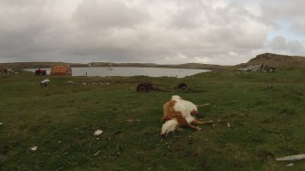 Sanak, a cow that didn't make it